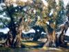 Uliveto salentino - olio su tela 70x100 - 1988