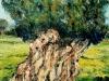 Vecchio ulivo - olio su tela 60x50 - 2006